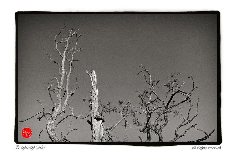 G-weir-tree
